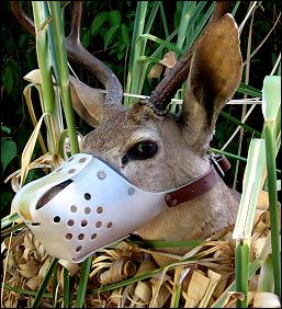 Deer with Jafco Muzzle